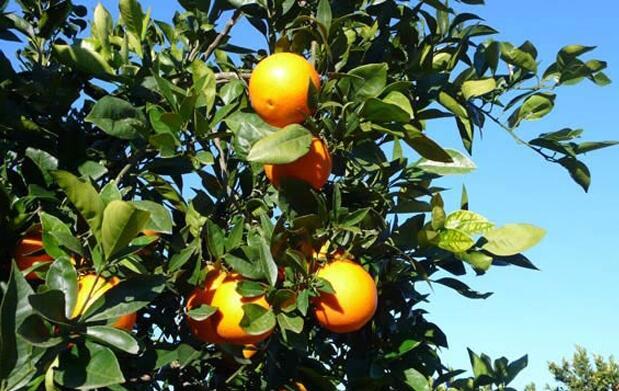 15 kg de naranjas o mandarinas